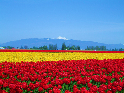 Skagit Tulip Field in Bloom